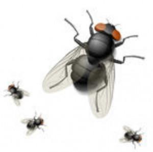 chasser les mouches naturellement