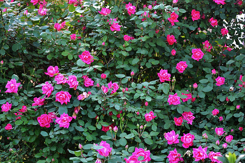 engrais naturel pour rosier