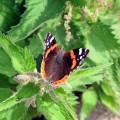 papillon ortie par John Haslam CC Flickr